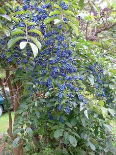 Sapphire Berry, Symplocos paniculata, Shrub Seeds (Showy, Hardy)