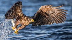 "Photo ""Sea Eagle"" by Luigi Rotondaro Time Pictures, Cool Pictures, Perfect Timed Pictures, Perfect Timing, Luigi, Bald Eagle, Norway, The Good Place, Art Photography"