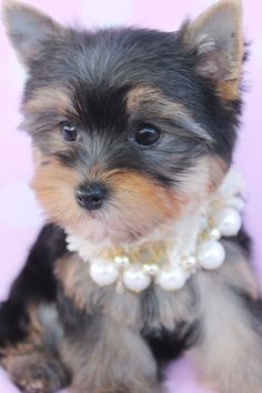 157 Best Adorable T Cup Puppies For Sale Images On Pinterest In 2018