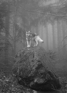 волк на камне