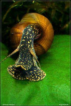 Yellow spotted Rabbit snail (Tylomelania sp.) - Foto © Hristo Hristov