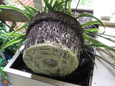 Houseplants require occasional repotting to keep them healthy. In addition to knowing when to repot, you must, of course, know how to repot a houseplant for this task to be successful. How to Repot a Houseplant When it's time… Indoor Garden, Garden Plants, Indoor Plants, Home Made Fertilizer, Pothos Plant, House Plant Care, Spider Plants, Replant, Hair Growth Tips