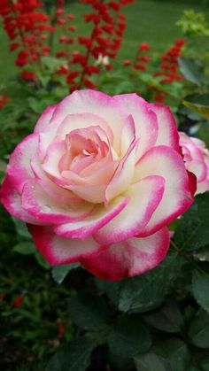 Captivating Why Rose Gardening Is So Addictive Ideas. Stupefying Why Rose Gardening Is So Addictive Ideas. Beautiful Rose Flowers, My Flower, Beautiful Flowers, Pink Roses, Pink Flowers, Bloom, Rosa Rose, Plantation, Flower Pictures