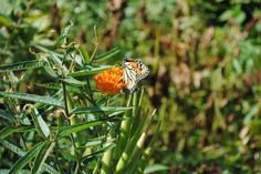 A Monarch feeding on pollen of my Common Butterflyweeds in the backyard in July-Aug in se PA