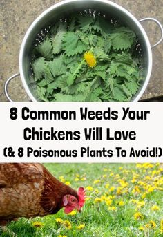 "Feed your chickens for free with these tasty, nutrient-dense ""weeds"" that you'll find growing all over your garden. Plants For Chickens, Food For Chickens, Raising Backyard Chickens, Urban Chickens, Keeping Chickens, Dust Bath For Chickens, What To Feed Chickens, Chicken Garden, Chicken Life"