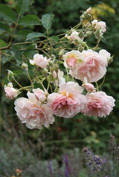 Rosa moschata 'Felicia'