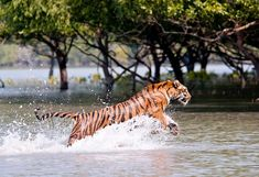 The Tide and The Tiger - Two things around which everyday activities revolve in #Sunderbans
