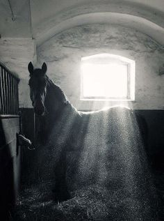 # Horses and their stables - stunning black and white photo sunlight streaming across horses back. All The Pretty Horses, Beautiful Horses, Animals Beautiful, Clydesdale, Equine Photography, Photography Poses, Horse Pictures, Horse Love, Dark Horse