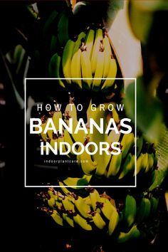 Never go to the grocery store for fruit again, grow your own bananas instead! It's easy to grow a dwarf cavendish banana tree indoors, but you can use this tutorial if you need help.