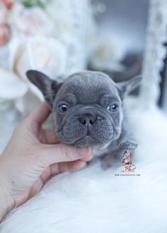 French Bulldog Puppy #602 | Teacup Puppies & Boutique Small French Bulldog, Lilac French Bulldog, Miniature French Bulldog, Teacup French Bulldogs, Merle French Bulldog, Blue French Bulldog Puppies, Dapple Dachshund Miniature, Mini Dachshund, Dachshund Puppies