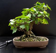 ivy bonsai tree