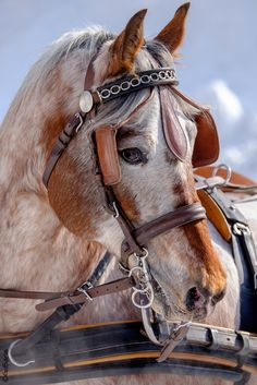 Beautiful horse with pretty eyes. Wish I could see the horse without the harness. Amazing color.