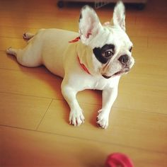 French Bulldog with a Heart shaped Pied Eye.