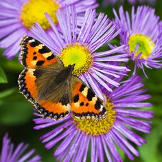 Buy aster Aster amellus King George - One of the stars of late summer: pot: Delivery by Crocus Horse Manure, Rose Queen, Sea Holly, Garden Compost, Herbaceous Perennials, Aster, Garden Care, Ornamental Grasses, Salvia