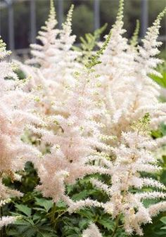 "Astilbe 'Milk and Honey' - Full shade, creamy flowers turn light pink throughout the summer, grows to be about 30"" high"