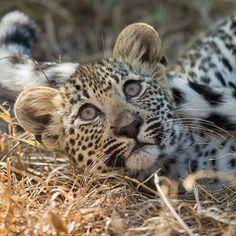 Um leopardo bebé na Reserva de Sabi Sands em África do Sul.  #leopard #cub #cat #baby #cute #travel #adventure #explore #summit #hiking #climbing #igtravel #ig_captures #ig_europe #wanderlust #nature_perfection