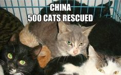 Volunteers Celebrate Saving 500 Cats from Meat Trade. Please help by donating if you can . Thanks to the volunteers for helping the cats well done