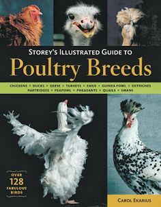 Booktopia has Storey's Illustrated Guide to Poultry Breeds by CAROL EKARIUS. Buy a discounted Paperback of Storey's Illustrated Guide to Poultry Breeds online from Australia's leading online bookstore. Pet Chickens, Raising Chickens, Chickens Backyard, Rabbits, Backyard Coop, Bantam Chickens, Backyard Poultry, Keeping Chickens, Swans