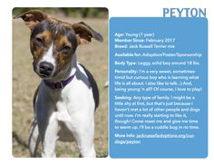 Peyton has settled in, gained confidence, and is ready to roll to his new home! #Adoptable #JackRussell #Georgia