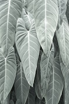 Hojas (leaves) of Silvery Green Fuerza Natural, Cactus Plante, Color Quotes, Nice Quotes, Shades Of Green, Organic Gardening, Indoor Plants, Mother Nature, Planting Flowers