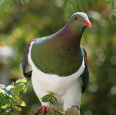 Avian Reintroduction and Translocation : Species : New Zealand Pigeon (Kereru or Kukupa) Pretty Birds, Beautiful Birds, Animals Beautiful, Cute Animals, Kinds Of Birds, All Birds, Love Birds, Exotic Birds, Colorful Birds