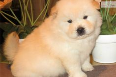 You'll love this Male Chow Chow puppy looking for a new home.
