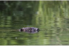 Beaver kills man trying to take photo (photo: A beaver swims in a pond in the forest near the village of Lovtsevichi, 50 km  north-west of Minsk, Belarus.)