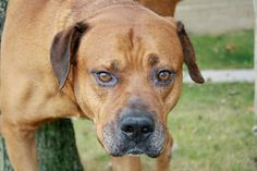 SAFE !  10/17/13 Brooklyn Center~RUSTY~ID # is A0981202.  I am a male ruddy ruddy. STRAY 10/5/13. The I am about 4 YEARS old. Ironically, although Rusty presented with some concerning behaviors during paw squeezing & tag. These concerns will need addressing-not uncommon but so worth the effort! I get the feeling this poor boy has not had an easy life. Let's try to give him this chance!