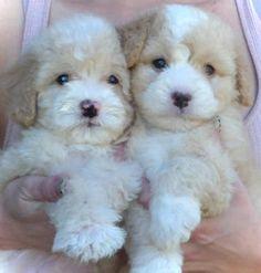 Super Cute Tiny Maltipoo Puppies- 8 weeks Old Puppies And Kitties, Teacup Puppies, Cute Puppies, Pet Dogs, Dog Cat, Doggies, Kittens, Maltipoo Dog, Cavapoo