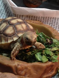 Sulcata Tortoise named Liam