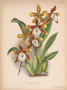 242208 Miltonia candida Lindl. / Lindenia, Iconographie des orchidées [E. von Lindemann], Plates 673-720, vol. 15: t. 685 (1899) [P. de Pannemaeker]