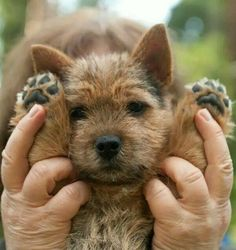 Awwwww, why wouldn't you. Norwich Terrier Puppy, Bull Terrier Dog, Yorkshire Terrier, Terrier Mix, Norfolk Terrier, Cute Puppies, Cute Dogs, Dogs And Puppies, Cairn Terriers