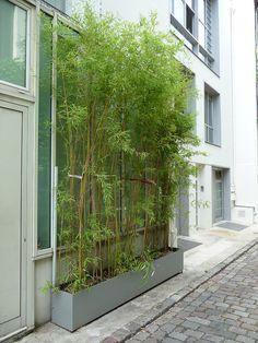 Rideau de bambous plantés dans une jardinière, impasse Santos-Dumont, Paris 15e (75)