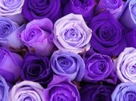 Amanda will LOVE these purple roses :)