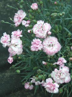 so, blüjt 6 - 8, bis 30 cm h, Dianthus plumarius 'Candy Floss' -- Federnelke