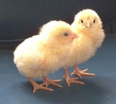 Breed Savers: The Chantecler - Canada's Chicken Breed