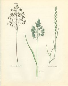 Common Quaking Grass, Perennial Rye Grass, Cocksfoot, Botanical Flower, 129, Natural History, Blossom Art, 1963, Svolinsky