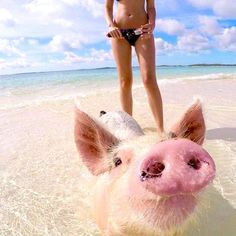 This little piggy went to the #Exumas—you should too. #GetOutHere Photo by @theswimmingpigs Swimming Pigs, Bahamas Vacation, This Little Piggy, Nassau, Travel Destinations, Bucket, Island, Summer, Baby