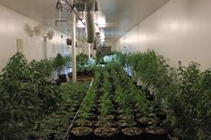 They know everything about growing the strains they grow so they know how to feed, water, and protect those strains and .....  #growers #grow #medicalmarijuana