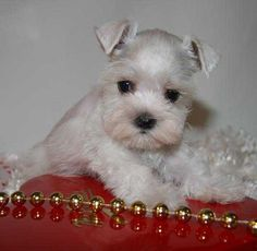 Toy, Teacup and Miniature Schnauzer Puppies For Sale - Oklahoma Teacup Schnauzer, White Miniature Schnauzer, Miniature Schnauzer Puppies, Schnauzer Puppy, Teacup Puppies, Schnauzer Grooming, Schnauzers, Super Cute Puppies, Cute Dogs And Puppies