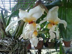 Stanhopea lietzie #orquidea