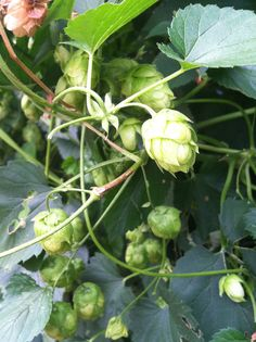 Hops, like valerian, are a traditional herbal remedy for anxiety, restlessness and insomnia.