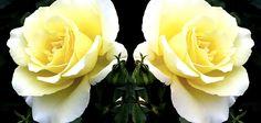 Exquisite capture and presentation of this cream rose duo Will!