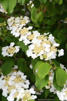 Doublefile Viburnum | ©homeiswheretheboatis.net #spring #shrub #lowmaintenace #fastgrowing #garden