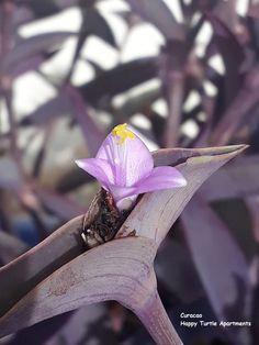 In de potten bij het zwembad van Happy Turtle bloeit dit schattige kleine paarsje bloempje. In de vroege ochtend zijn de bloempjes open, in de loop van de ochtend gaan ze dicht. @Curacao Happy Turtle, Plants, Plant, Planets