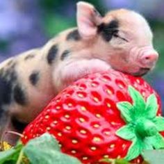 35 Cute Miniature Pig Pictures