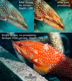 are underwater strobes so damn important? Why are underwater strobes so damn important? Underwater Photographer, Underwater Photos, Red Filter, Light Works, Macro Shots, Photo Lighting, Strobing, Low Lights, Wide Angle
