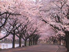 sakura : algo mas que un arbol de cerezo