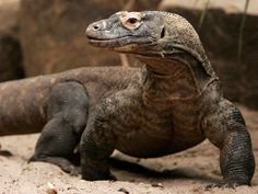 Komodo = Indonesian Animal