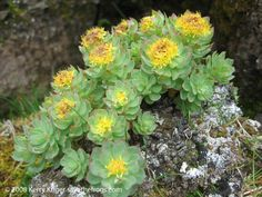 Rhodiola rosea- My most favorite herb (root)! Helps reduce stress and fatigue, improve endurance, improve mood and improves mental clarity. Highly studied and wonderful Natural Antidepressant, Rhodiola Rosea, Plant Zones, My Secret Garden, Medicinal Plants, Natural Medicine, Herbal Remedies, Houseplants, Natural Health